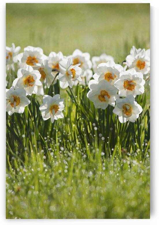 Daffodils In The Dew Covered Grass; Thunder Bay, Ontario, Canada by PacificStock