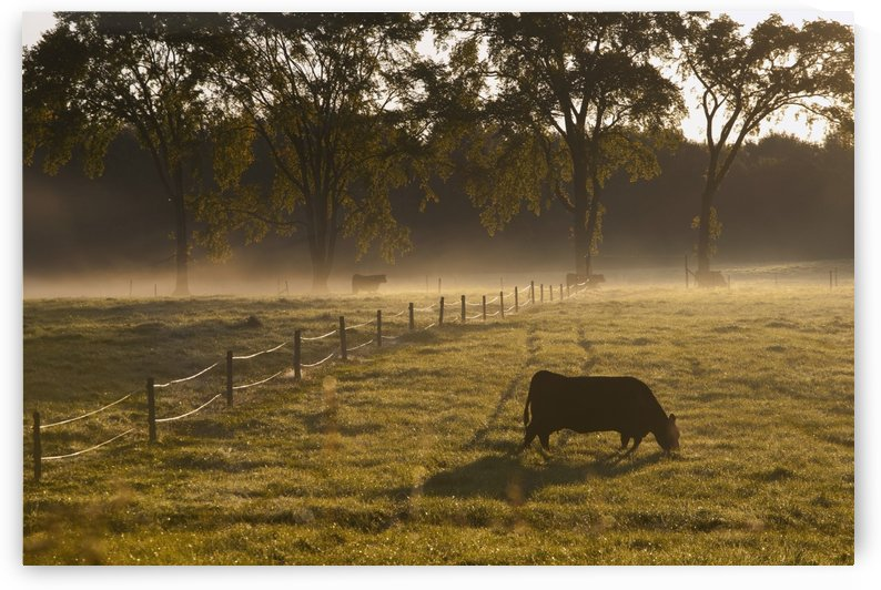 A Cow Grazing In A Field In The Early Morning Light; Ville De Lac Brome, Quebec, Canada by PacificStock