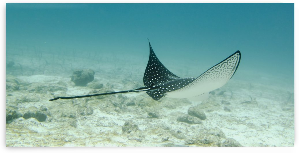 A Spotted Eagle Ray (Aetobatus Narinari)Under The Water; Galapagos, Equador by PacificStock