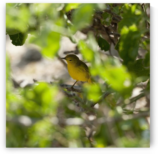 Yellow Warbler (Dendroica Petechia); Galapagos, Equador by PacificStock