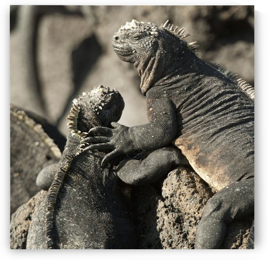 Two Marine Iguanas (Amblyrhynchus Cristatus) Showing Affection; Galapagos, Equador by PacificStock