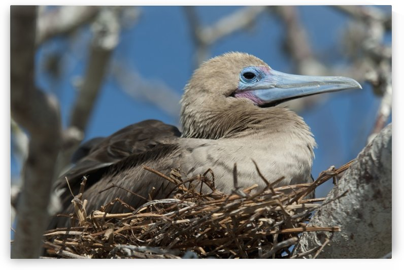Red-Footed Booby (Sula Sula) Sitting In A Nest; Galapagos, Equador by PacificStock