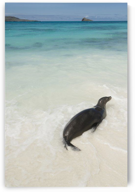 A Sea Lion (Otariidae) In The Shallow Water With It's Belly On The White Sand In Gardner Bay; Galapagos, Equador by PacificStock