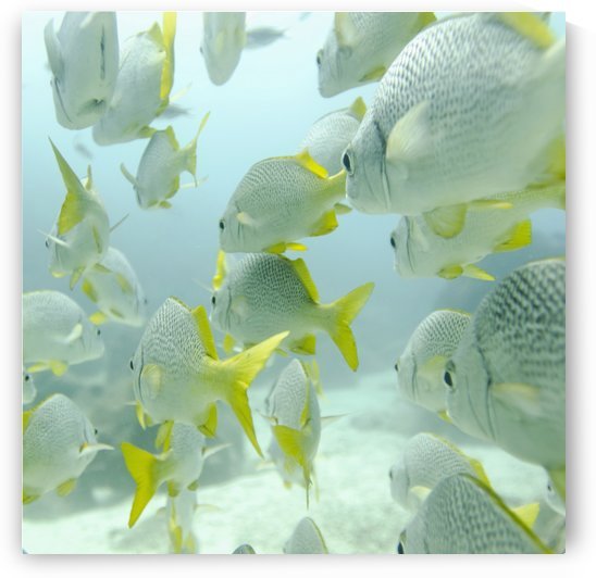 A School Of Yellow-Tailed Grunt Fish (Anisotremus Interruptus) Swimming Underwater; Galapagos, Equador by PacificStock