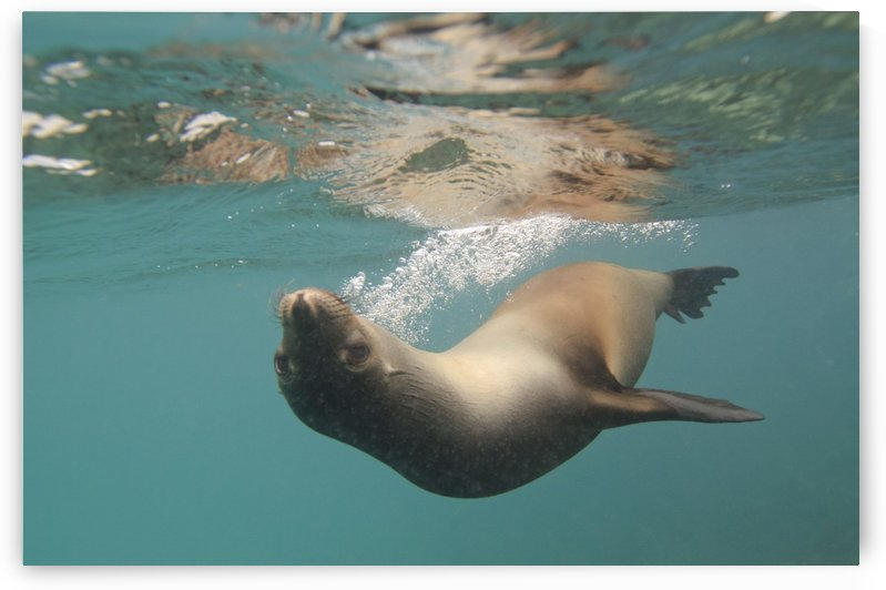 A Sea Lion Swimming Under The Water's Surface; Galapagos, Equador by PacificStock