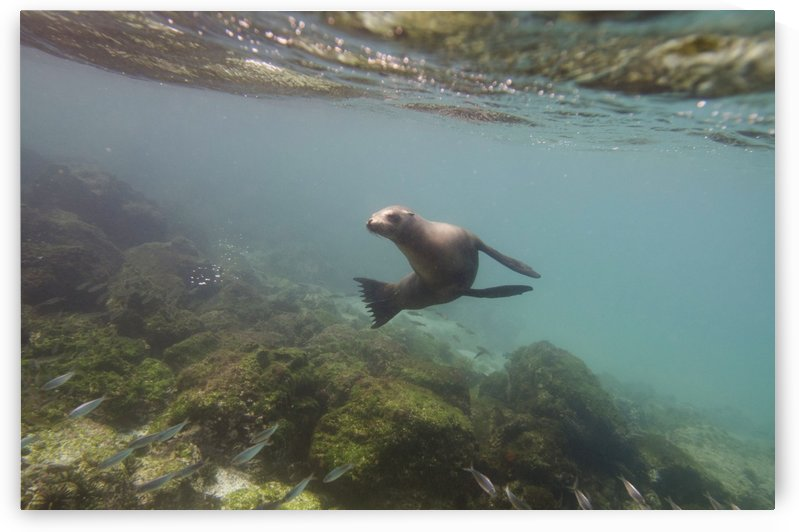 A sea lion swimming under the water's surface watching a school of fish;Galapagos, equador by PacificStock