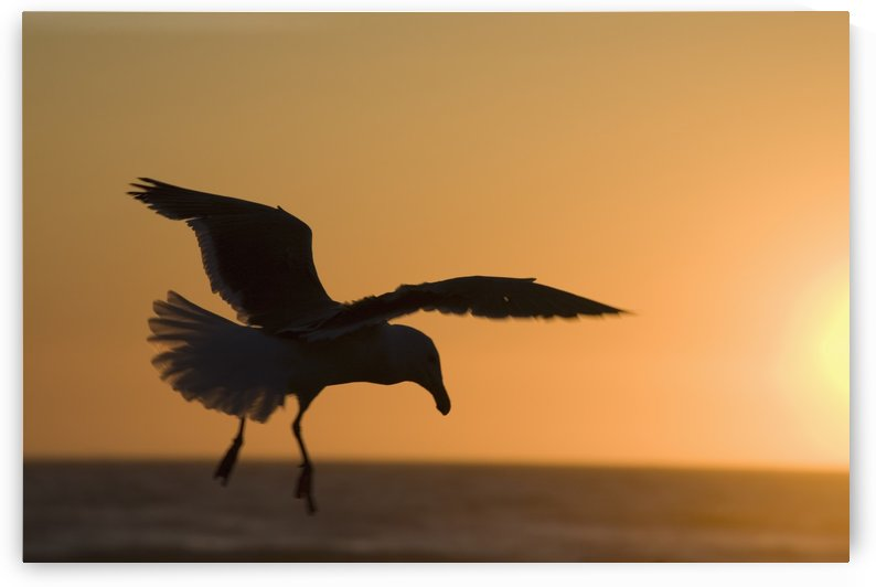 Silhouette Of A Seagull In Flight At Sunset; Newport, Oregon, United States of America by PacificStock