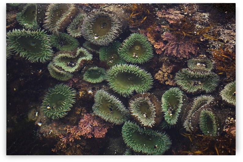Sea Anemones Underwater; Cape Perpetua, Oregon, United States of America by PacificStock