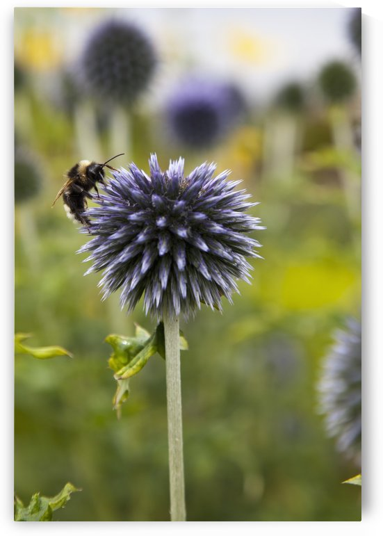 A Bee On A Flower; Scottish Borders, Scotland by PacificStock