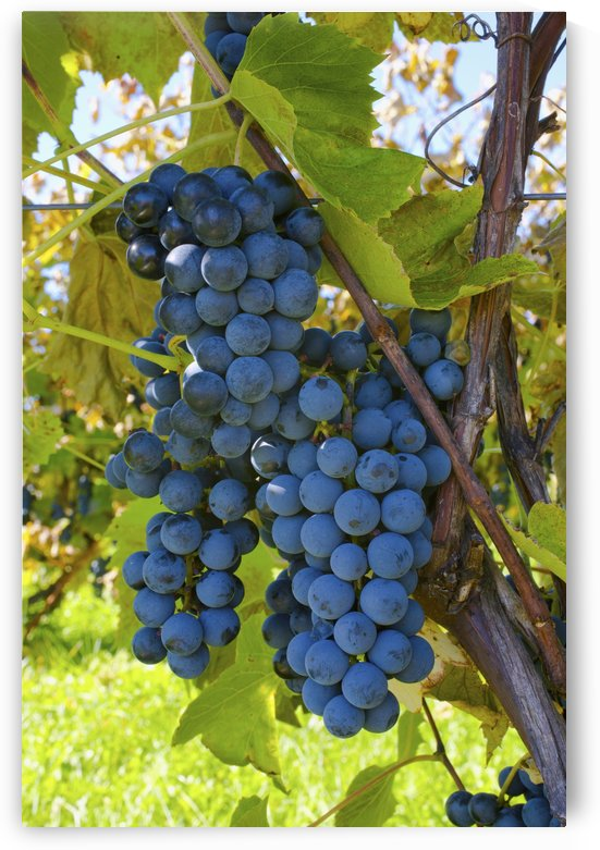 Grapes On A Vine; Sutton Junction, Quebec, Canada by PacificStock