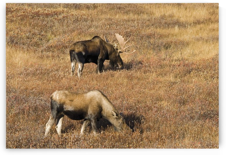 Male And Female Moose (Alces Alces) In Autumn Morning Light; Alberta, Canada by PacificStock