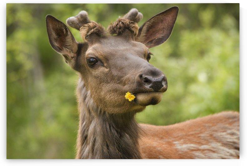 Elk (Cervus Canadensis) With Dandelion In It's Mouth In Prince Albert National Park; Saskatchewan, Canada by PacificStock