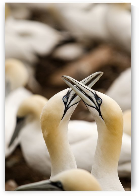 Northern Gannets (Morus Bassanus) Rubbing Beaks; Perce,Quebec, Canada by PacificStock