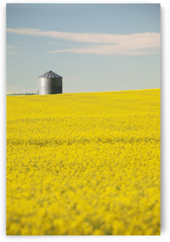 Flowering Canola With Grain Bins In The Background With Blue Sky And Clouds; Alberta, Canada by PacificStock