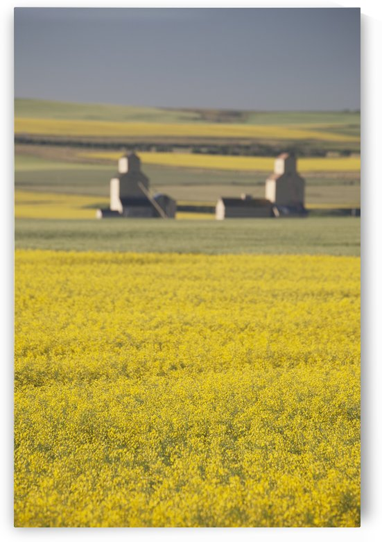 Two Old Wooden Grain Elevators At Sunrise With Flowering Canola Fields In The Foreground And Background; Mosleigh, Alberta, Canada by PacificStock