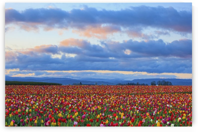 Sunrise Over A Tulip Field At Wooden Shoe Tulip Farm; Woodburn, Oregon, United States of America by PacificStock