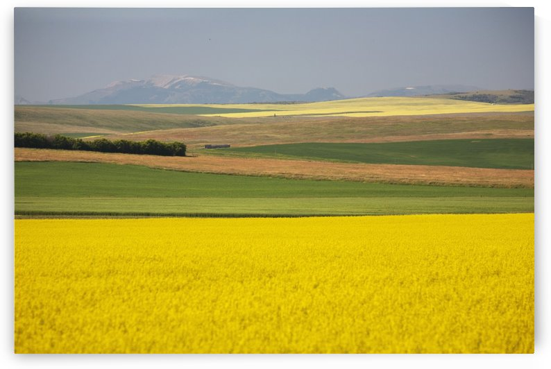 Flowering Canola Fields Mixed With Fields Of Green Wheat Rolling Hills And Mountains In The Distance; Alberta, Canada by PacificStock
