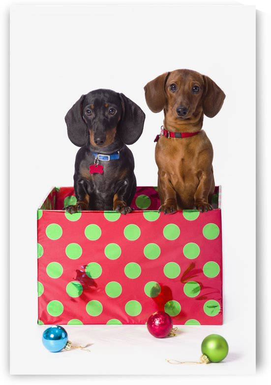 Two Dachshund Puppies Inside A Polka Dot Christmas Gift Box by PacificStock