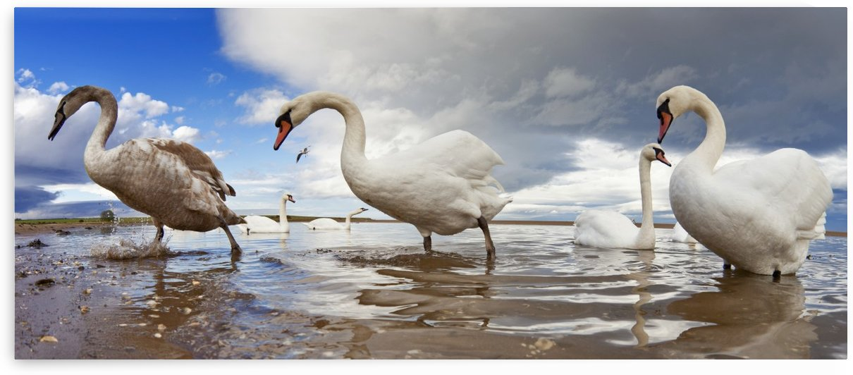 Swans Wading In The Shallow Water; Holy Island, Northumberland, England by PacificStock