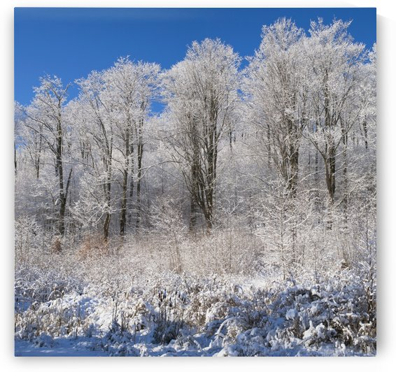 Snow Covered Maple Trees; Iron Hill, Quebec, Canada by PacificStock