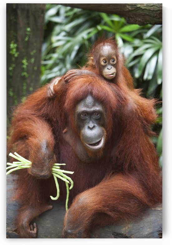 A Mother Orangutan Eats Vegetables With Her Baby At The Singapore Zoo; Singapore by PacificStock