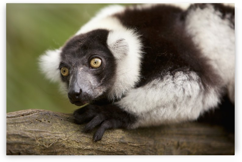 A Black-And-White Ruffed Lemur (Varecia Variegata) At The Singapore Zoo; Singapore by PacificStock
