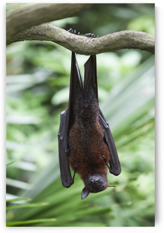 A Flying Fox Bat Hangs Upside Down From A Tree Branch At The Singapore Zoo; Singapore by PacificStock