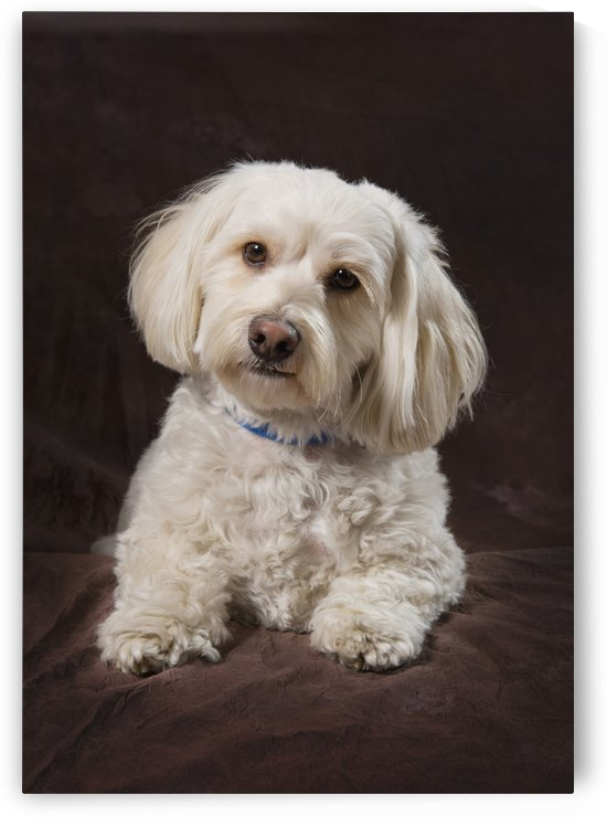Shih Tzu-Poodle On A Brown Muslin Backdrop by PacificStock
