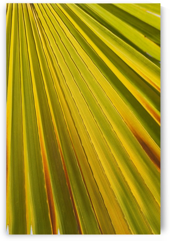 Close Up Of Palm Leaf Backlit And Glowing; Palm Springs, California, United States of America by PacificStock
