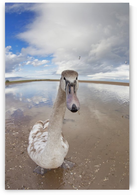 A Goose Standing On The Beach Staring At The Camera; Northumberland, England by PacificStock