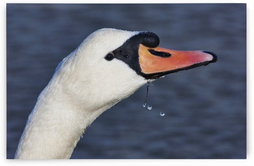 Head Of A Swan; Holy Island, Northumberland, England by PacificStock