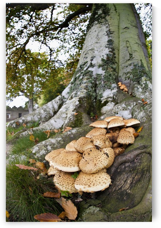 Mushrooms Growing At The Base Of A Tree; Scottish Borders, Scotland by PacificStock