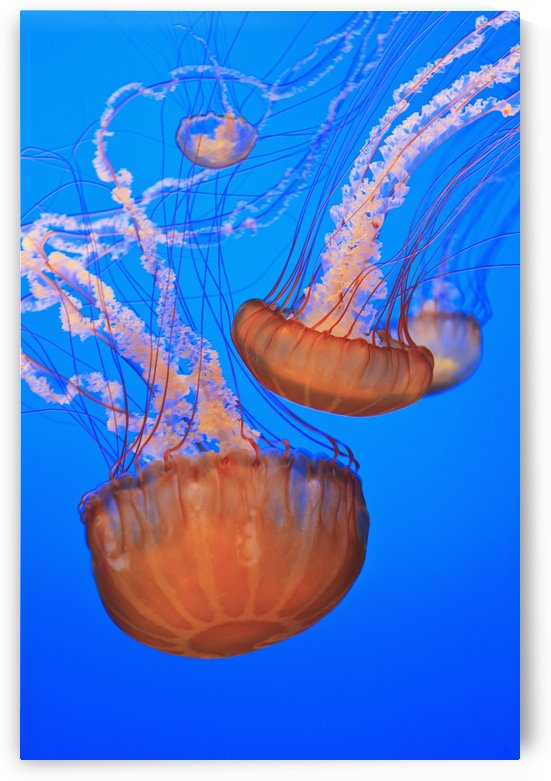 Sea Nettles (Chrysaora Fuscescens) In Monterey Bay Aquarium Display; Monterey, California, United States of America by PacificStock