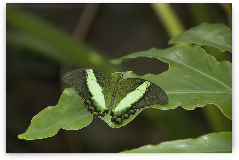 Butterfly On A Green Leaf; Niagara Falls, Ontario, Canada by PacificStock
