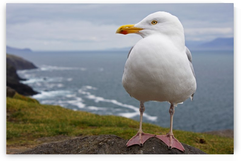 European Herring Gull (Larus Argentatus) Perched On A Rock On Slea Head On The Dingle Peninsula; County Kerry, Munster, Ireland by PacificStock