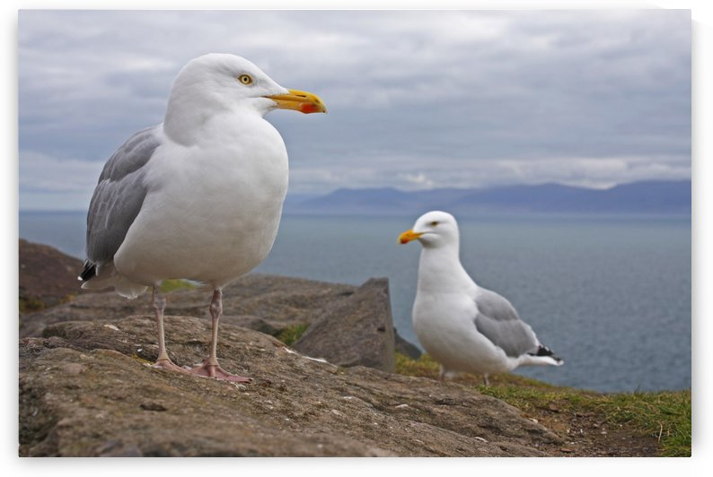 Seagulls On Slea Head On The Dingle Peninsula; County Kerry, Munster, Ireland by PacificStock