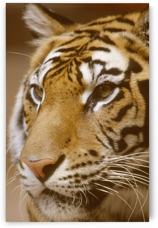 Bengal Tiger, Captive by PacificStock