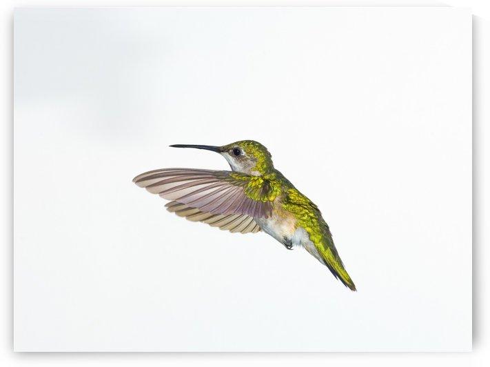 Ruby-Throated Hummingbird (Archilochus Colubris). Female. Fairly Common In Gardens, Nova Scotia, Canada. by PacificStock