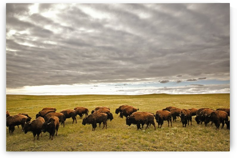 Bison Grazing, Saskatchewan, Canada by PacificStock
