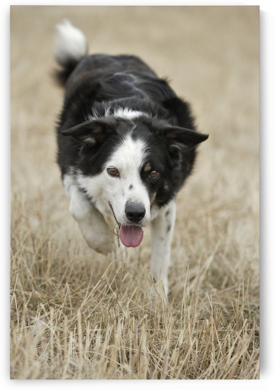 Border Collie - Alberta Canada by PacificStock
