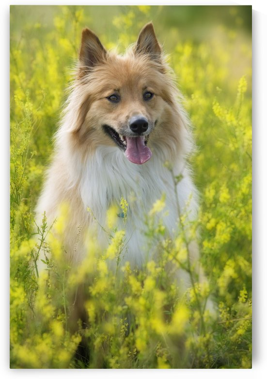 Tan And White, Long Haired Mixed Breed Dog Seated In Yellow Alfalfa, Canada, Alberta by PacificStock