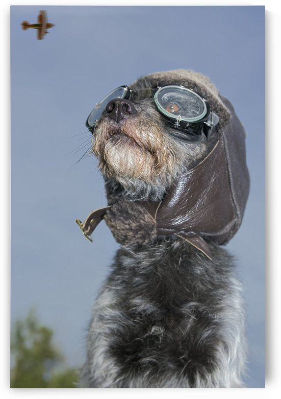 Mixed Breed Dog Dressed In Leather Cap And Aviator Glasses Looking Skyward, Canada, Alberta by PacificStock