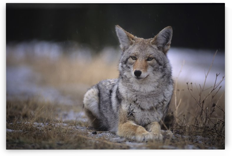 Coyote Resting In Winter Grass, Snowing Lightly, Kananaskis, Alberta by PacificStock