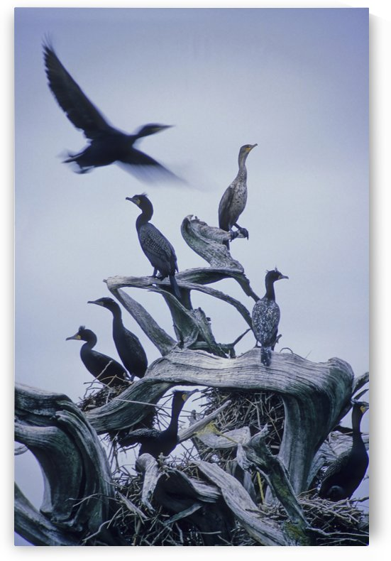 Cormorants Fly Above Driftwood, Grey Sky, Galiano Island, Bc by PacificStock