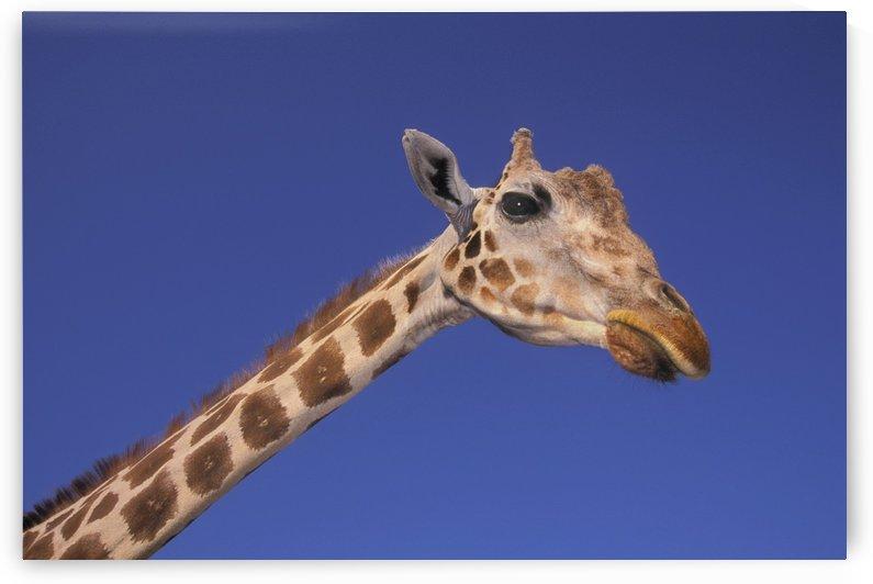 Masai Giraffe, Serengeti, Africa by PacificStock
