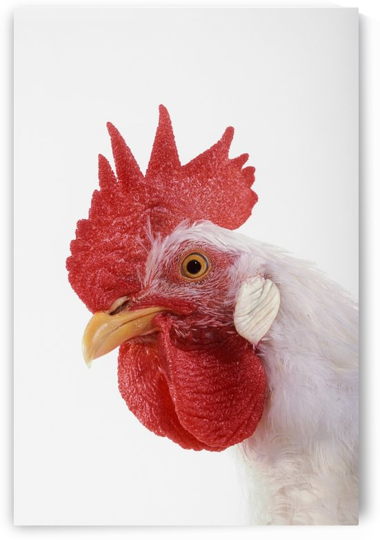 Rooster. by PacificStock