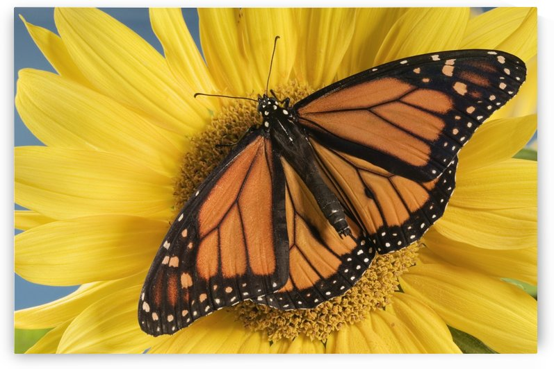 Monarch Butterfly On Sunflower. by PacificStock