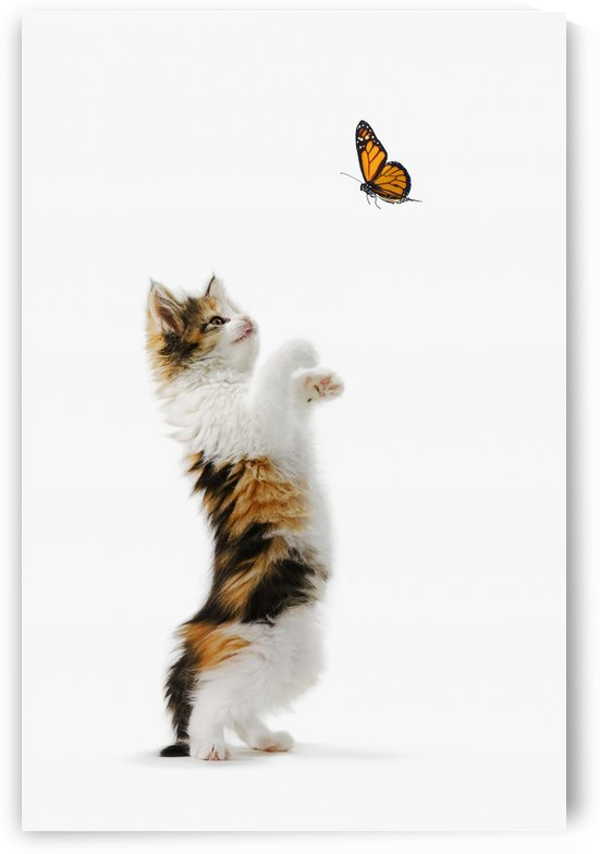 Kitten And Monarch Butterfly by PacificStock