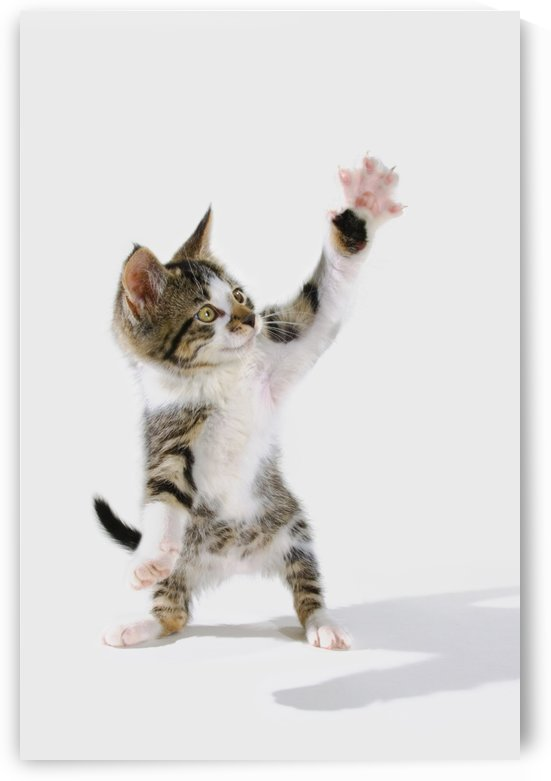 Kitten. by PacificStock