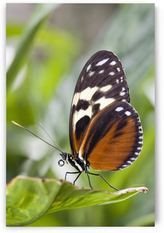 Tiger Longwing Butterfly (Heliconius Hecale) Resting On Leaf, Niagara Butterfly Conservatory, Niagara Falls, Ontario, Canada. by PacificStock